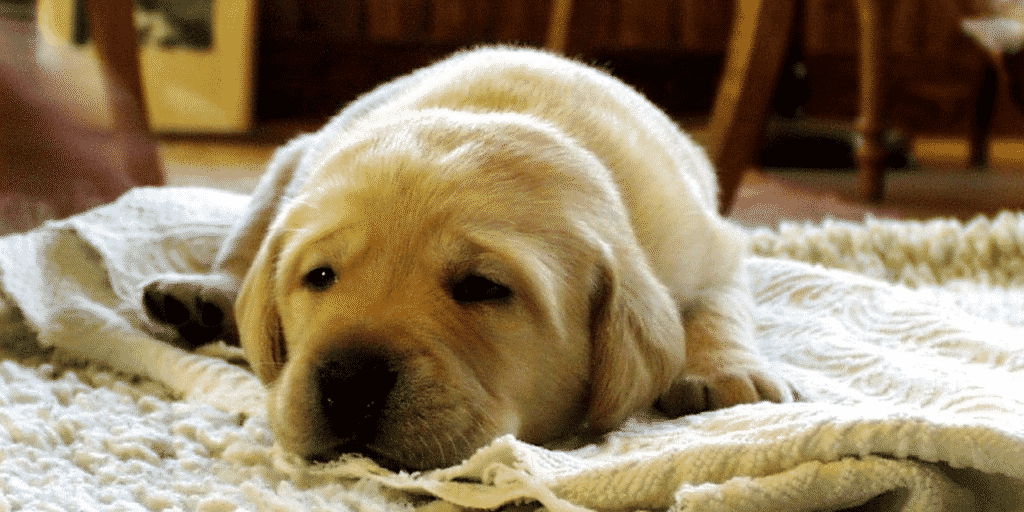 How To Easily Remove Ingrained Dog Hair From Your Rug